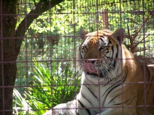 TJ the Tiger