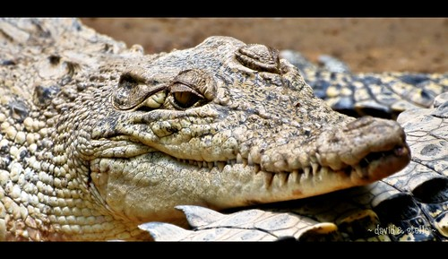 Crocodylus porosus {estuarine crocodile}