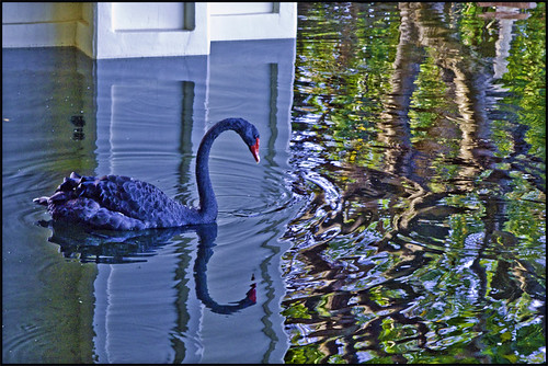 Black Swan, Reflected ~ Project 365/258