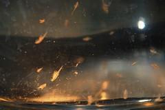 Artemia salina 03