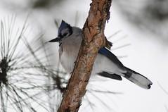 Funny Blue Jay
