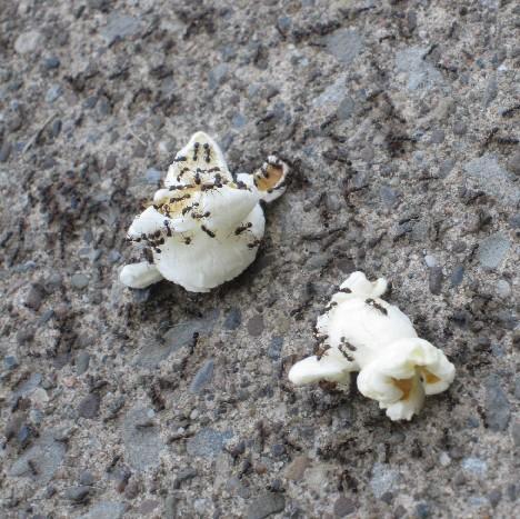 Ants on Popcorn