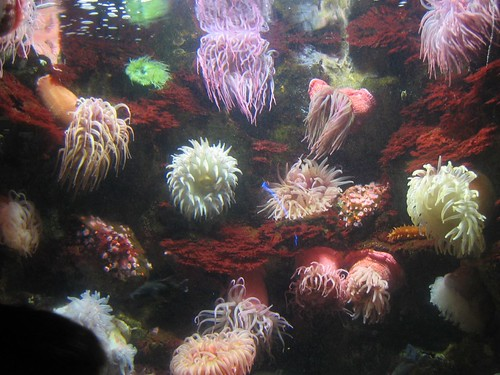 sea anemones at the National Aquarium