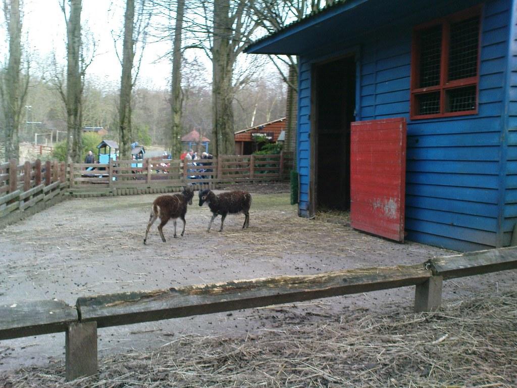 Goats - Kizzie