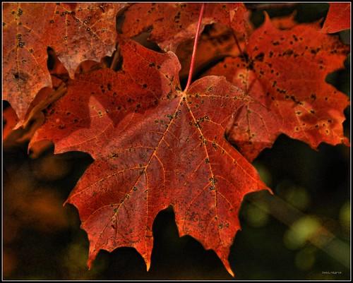 Maple Leaf - Mother Nature's Autumn Masterpiece