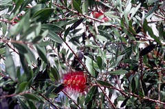 Hummingbird on Crimson Bottlebrush