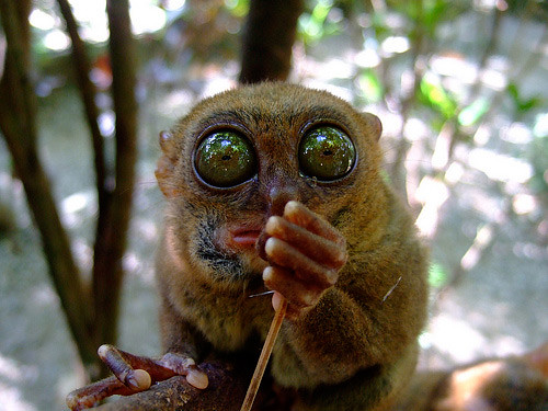 tarsier-philippines-06 by you.