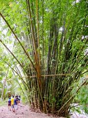 Giant Bamboos