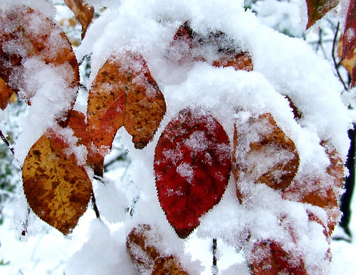 October snow on shadbush (serviceberry) leaves