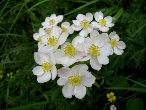 Blume / Flower : ... por chrchr_75