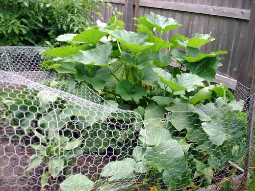 Zucchini and Cucumber 7-16-2009 6-31-38 PM