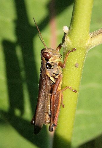 Melanoplus femurrubrum - Red-legged Grasshopper