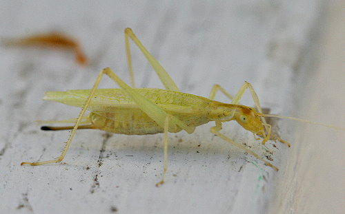 Narrow-winged Tree Cricket, Oecanthus niveus