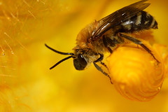 Doctor Bee, King of the Squash Blossoms