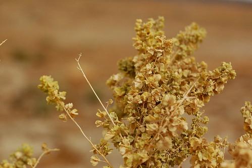 Desert seeds