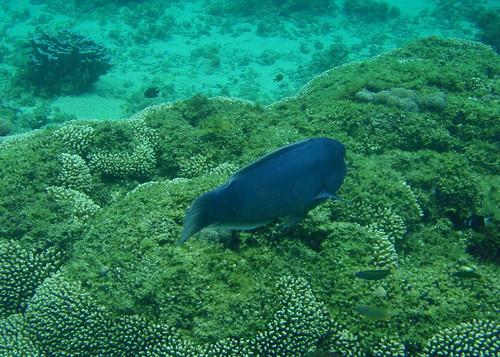 Lord Howe Island snorkeling - Double headed wr...