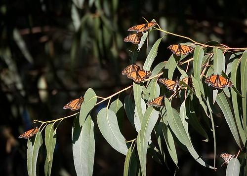 Monarch Butterflies by you.