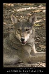 Virginia Red Wolf
