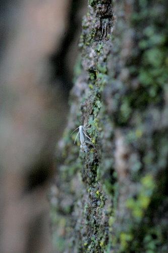 Little moth