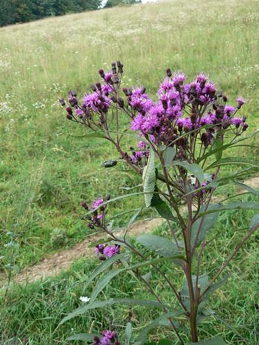 Sinking Creek Mountain - Purple Flowers and Appalachian Trail