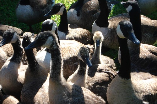 Canada Goose are in the Pen