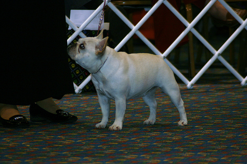 French Bull Dog Nationals 2009 - Butters and Kay showing in open Cream/Fawn bitches.