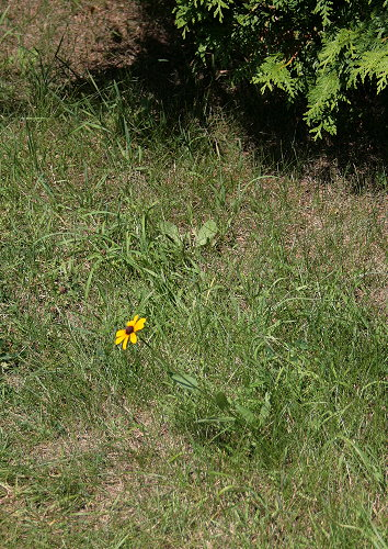 Black-eyed Susan in lawn