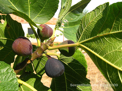 Wild fig...small and dark. Ripe only in late September...