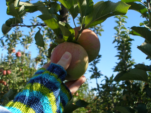 YIP 160.365 Apple Pickin'