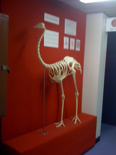 Emu bone