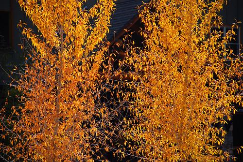 Fall Aspens on a Crisp Walk