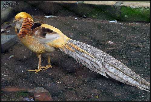 Yellow Golden Pheasant (Chrysolophus pictus)