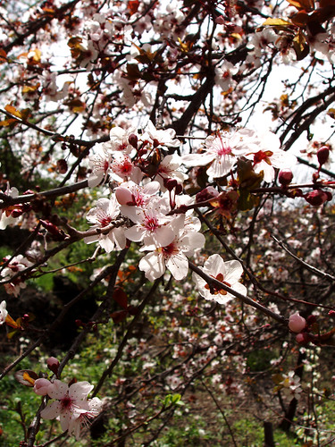 Almond blossom in the Santiago del Teide valley in late January