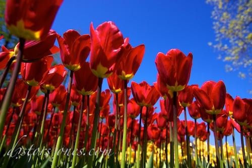 Tulipanes desde el suelo