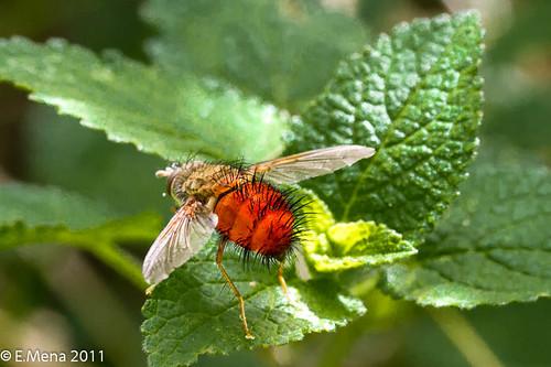Mosca Taquínido (Adejeania vexatrix)