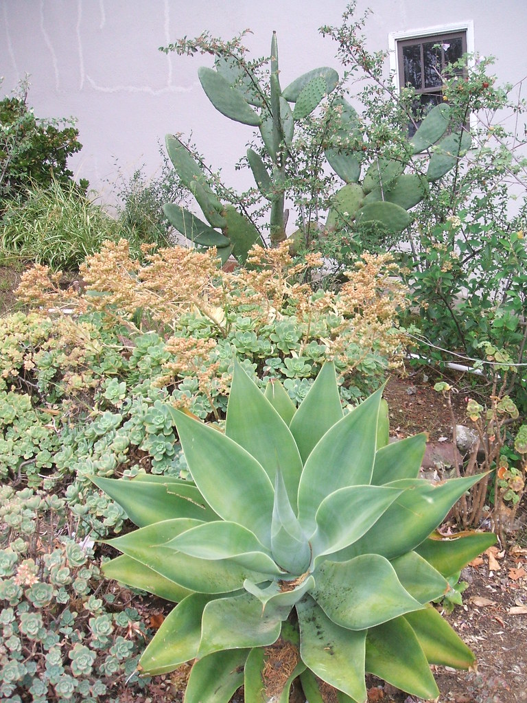SF street garden with agave