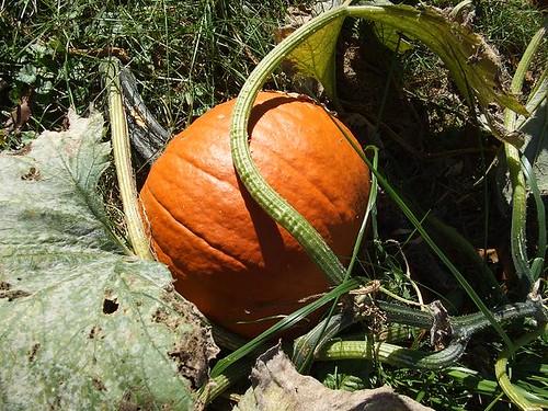 Pinky's Pumpkin