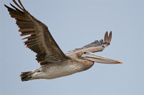Alcatraz_Island_Wilson_OnlineMedia_03_pelican