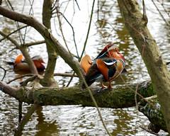 102 Madarin Duck