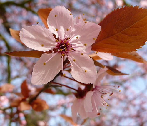 Spring flowers - pink blossom