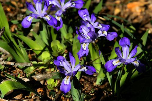 Native Wild Iris