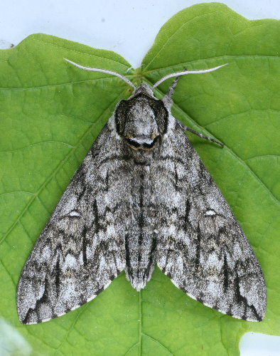 7787 - Ceratomia undulosa - Waved Sphinx (2)