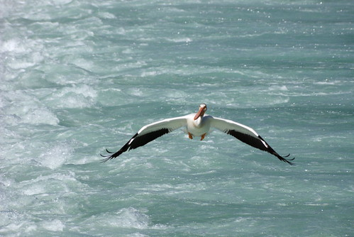 Why did the Pelican Cross the River?