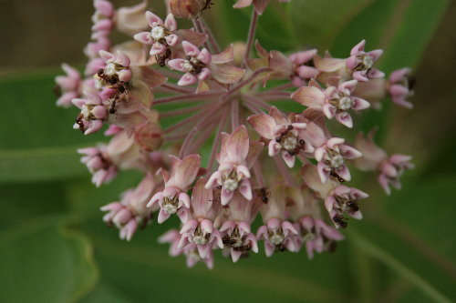Ants on Common Milkweed, Asclepias syriaca