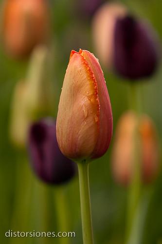 Tulipán Psikke