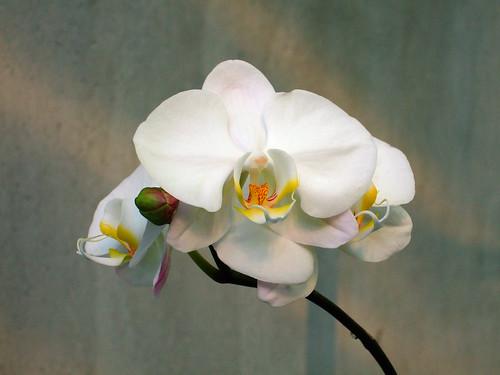 台灣蝴蝶蘭 Phalaenopsis amabilis var. formosa