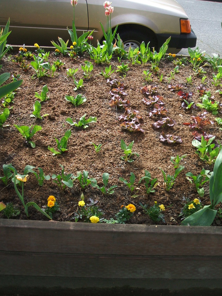 Lettuces and marigolds in parking strip raised bed