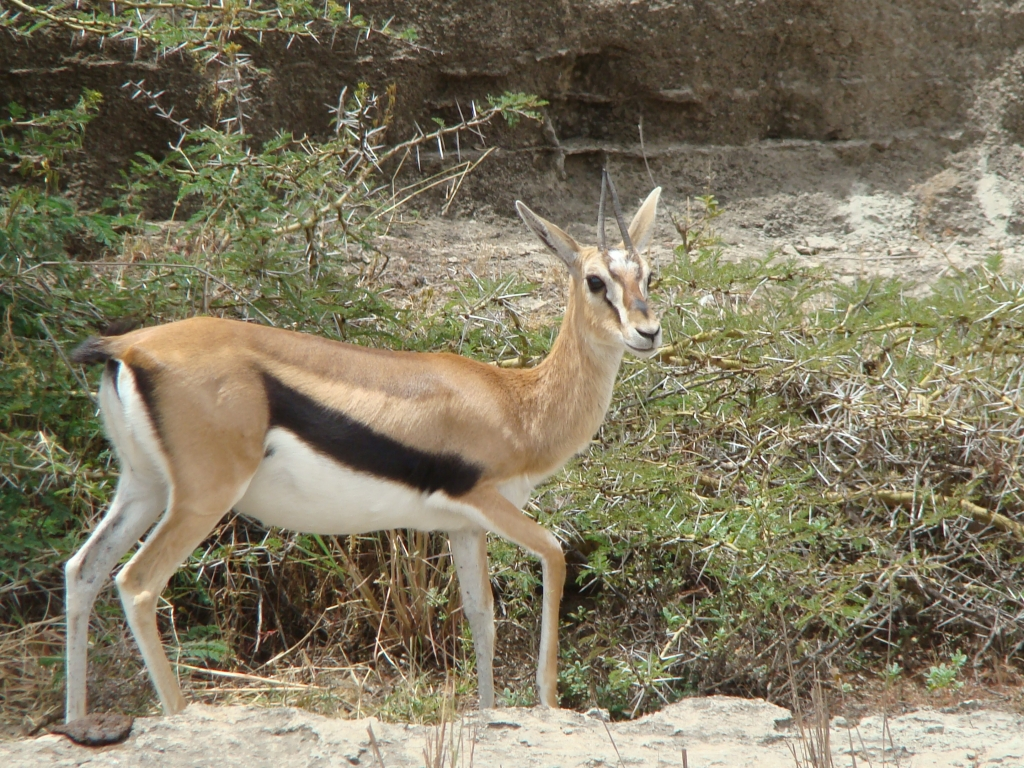 Antelopes of Nairobi National Park