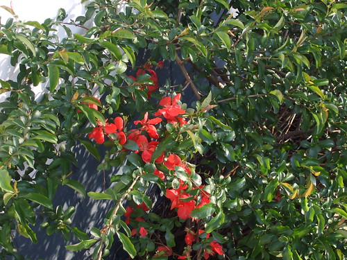 My fruit bush/tree in bloom