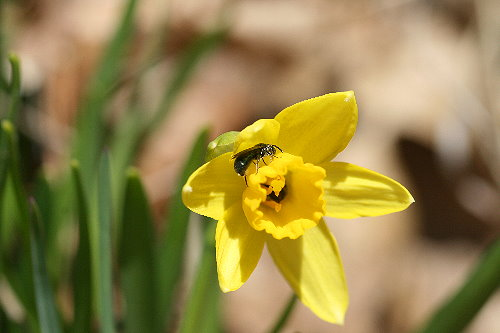 Daffodil with wasp